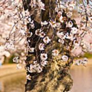 Blossom Ponytails Art Print