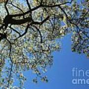 Blossoming White Magnolia Tree Against Blue Sky Art Print
