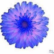 Blue And Pink Dahlia Art Print