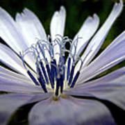 Blue Blossoms  3 Art Print