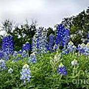 Blue Bonnet Carpet V9 Art Print