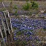 Blue Bonnet Fence V2 Art Print