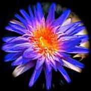 Blue Burst Lily Art Print