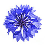 Blue Cornflower Flower Art Print