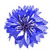 Blue Cornflower Flower Print by Elena Elisseeva