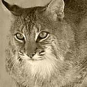 Blue Eyed Bobcat-sepia Art Print