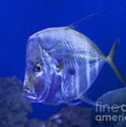 Blue Fish   #4990 Art Print