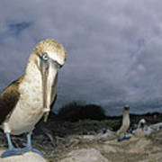 Blue-footed Booby Galapagos Islands Art Print