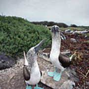Blue-footed Booby Pair Courting Art Print