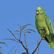 Blue-fronted Parrot Emas National Park Art Print