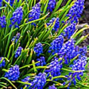 Blue Grape Hyacinth Art Print