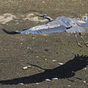 Blue Heron And Shadow Art Print