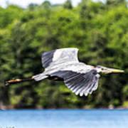Blue Heron In Flight II Art Print