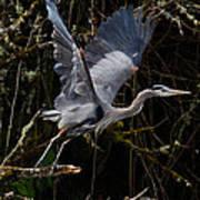 Blue Heron Lift Off Art Print