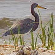 Blue Heron On Oyster Shell Beach Art Print