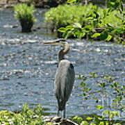 Blue Heron River Fishing  Art Print