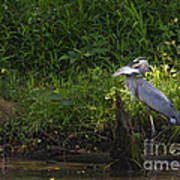 Blue Heron With A Fish-signed Art Print