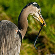 Blue Heron With A Snake In Its Bill Art Print