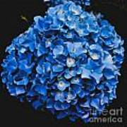 Blue Hydrangea 1 Art Print
