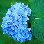 Blue Hydrangea Flower Art Prints Nature Floral Art Print