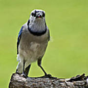 Blue Jay Meal Time Art Print