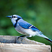 Blue Jay In Backyard Feeder Art Print