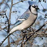Blue Jay.. Art Print