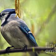 Blue Jay On A Misty Spring Day Art Print