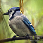 Blue Jay On A Misty Spring Day - Square Format Art Print