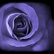 Blue Lavender Violet Roses Triptych Art Print