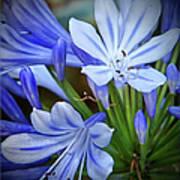 Blue Lilie Art Print