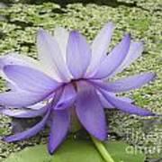 Blue Lotus Seen From Behind Art Print