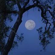 Blue Moon Horse And Oak Tree Art Print
