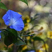 Blue Morning Glories Art Print