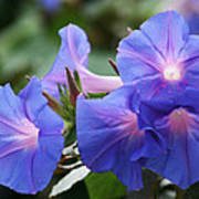 Blue Morning Glory Wildflowers - Convolvulaceae Art Print