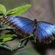 Blue Morph Butterfly Art Print by Sven Brogren