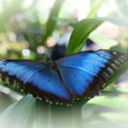 Blue Morpho Butterfly Dsc00575 Art Print