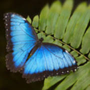 Blue Morpho Butterfly On Fren Dsc00441 Art Print