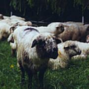 Blue Mountain Sheep Art Print