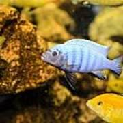 Blue Reef Fish Art Print