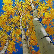 Blue Sky and Tall Aspen Trees Art Print