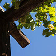 Blue Sky Grape Harvest - Thinking Of Fine Wine Art Print