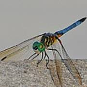 Blue Tail Dragonfly On Navarre Beach2 Art Print