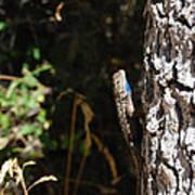 Blue Throated Lizard 1 Art Print
