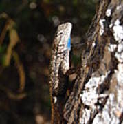Blue Throated Lizard 3 Art Print