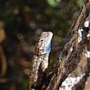 Blue Throated Lizard 4 Art Print