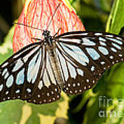 Blue Tiger Butterfly Art Print