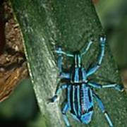 Blue Tropical Weevil Art Print