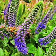 Blue Veronica Flowers   Digital Paint Art Print