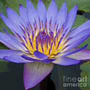 Blue Water Lily - Nymphaea Art Print by Heiko Koehrer-Wagner